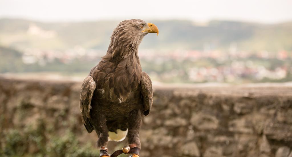Adler der Deutschen Greifenwarte in Haßmersheim