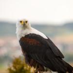 Weisskopfseeadler der Deutschen Greifenwarte in Haßmersheim